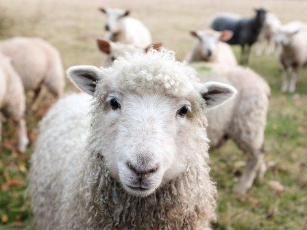 Lamb by Sam Carter-191161-unsplash
