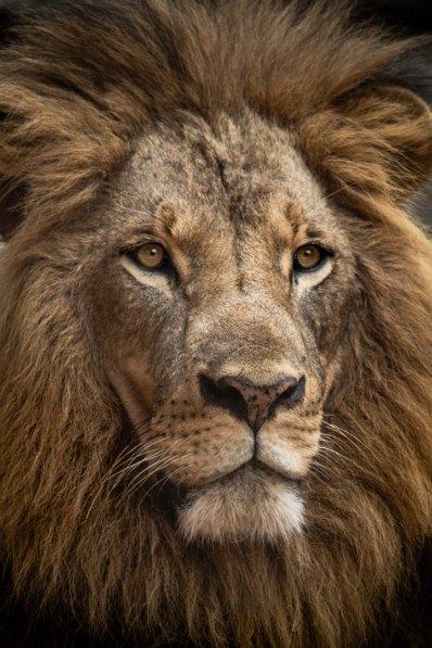 Lion by Luke Tanis-454346-unsplash