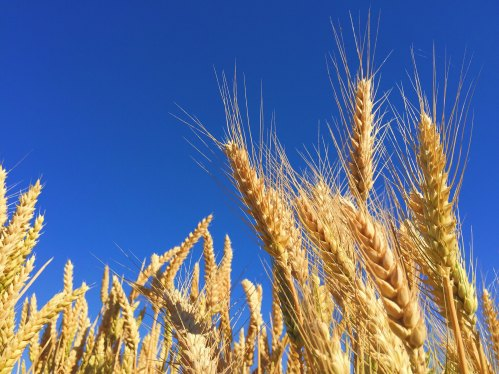 Wheat by Melissa Askew-29034-unsplash