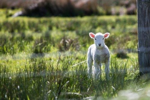 Lamb by rod-long-47289-unsplash.jpg